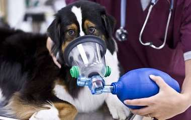 Maladies respiratoires chien